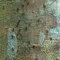 Ants climb a tree trunk in Peru's Amazon Jungle.