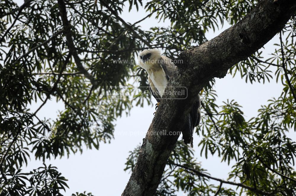 Ecuador, May 15 2010: Juvenile Harpy Eagle on branch near nest...Copyright 2010 Peter Horrell