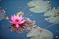 Thailande, province de Sukhothai, parc archeologique de Sukhothai, lotus // Thailand, Sukhothai, Sukhothai Historical Park, lotus