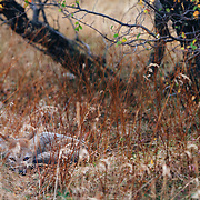 The Gray Fox, Psuedalopex griseus is a small fox native to South America, in particular Chile and Argentina.