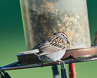 Chipping Sparrow at the bird feeder. Image taken with a Nikon D5 camera and 600 mm f/4 VR lens (ISO 800, 600 mm, f/5.6, 1/1250 sec).