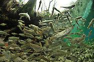 Coho Salmon Smolts<br /> <br /> Paul Vecsei/Engbretson Underwater Photography