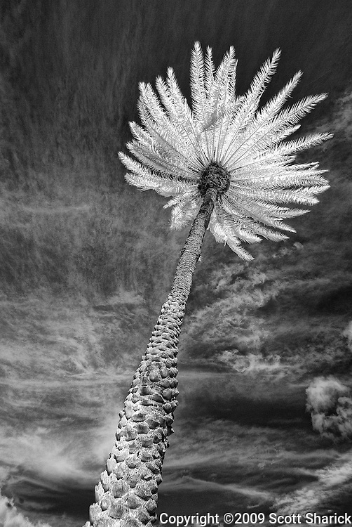 A single HDR infrared palm tree in Hawaii.