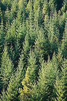 Backlit monoculture second growth Douglas Fir (Pseudotsuga menziesii) forest, Klickitat County, WA, USA