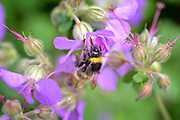 Nederland, the Netherlands, Ubbergen, 6-6-2019Een bij doet zich tegoed aan de nectar van bloemen . De partij voor de dieren wil dat minister van landbouw een europese wet ondertekent die de bescherming van bijen tegen pesticiden van de chemische industrie regelt.FOTO: FLIP FRANSSEN