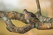 White-tipped Dove (Leptotila verreauxi)<br /> Northern Pantanal<br /> Mato Grosso<br /> Brazil