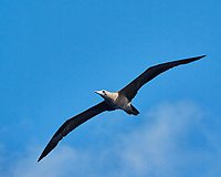 Brown Booby (tan belly). Viewed from the deck of the MV World Odyssey. Image taken with a Nikon 1 V3 camera and 70-300 mm VR lens (ISO 160, 136 mm, f/8, 1/1000 sec).
