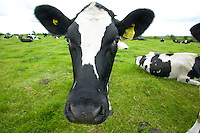 British Holstein Friesian cattle on an organic dairy farm