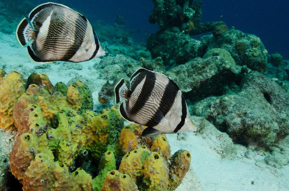 Banded Butterflyfish (Chaetodon striatus)<br /> BONAIRE, Netherlands Antilles, Caribbean<br /> HABITAT & DISTRIBUTION: Reef tops often in pairs. Florida, Bahamas, Caribbean, Gulf of Mexico & Bermuda