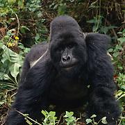 Portrait of a male silverback mountain gorilla in Volcanoes National Park Rwanda, Africa.
