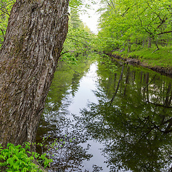 The trunk of a silver maple, Acer saccharinum, leans over the Lamprey River in Epping, New Hampshire.