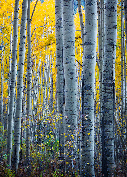Aspens grove in the San Juan mountains of Colorado