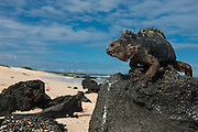 Marine Iguana (Amblyrhynchus cristatus) GALAPAGOS ISLANDS<br /> ECUADOR. <br /> South America<br /> ENDEMIC TO THE ISLANDS