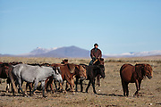 Baak Tulga, a Mongolian nomad, herding horses near his camp on the steppe