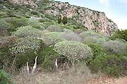 Vegetation on the island of Levanzo, the Aegadian Islands (Isole Egadi), western Sicily, Italy.