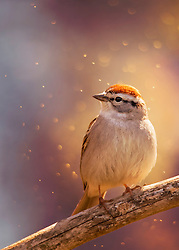 A Chipping Sparrow in Sunset Light