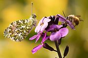 Orange tip (Anthocharis cardamines) male on wallflower (Erysimum). Sussex, UK.