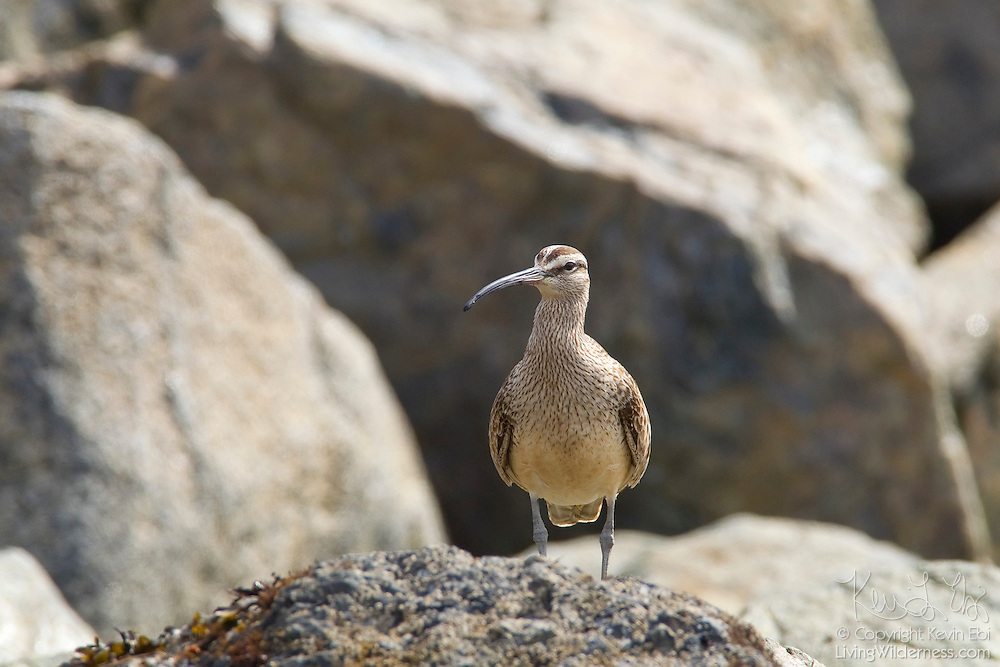 A whimbrel (Numenius phaeopus) hunts for food in the rocks along McNeill Bay, located on Vancouver Island, Canada. While it has a long bill, it tends to feed more by picking and less by probing as other birds in its family do.