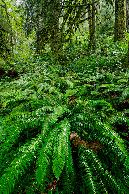 Lush fern plants cover the deeply shaded hillsides of Silver Falls State Park in Oregon.