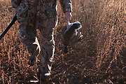 Duck hunting at dawn in camouflage on a hilltop south-east of Minot, North Dakota, United States. The duck hunters travel in the dark to the place they suspect will be the morning feeding roost for ducks. As the sun comes up they have prepared decoys in the field and hide behind some undergrowth in their camouflage clothing. As the sun rises soem ducks take to the air for their morning feed. As they draw near the hunters make female and feeding duck calls to attract the flying birds towards the decoys and to within shooting range. The moment they are close enough the hunters quickly take aim anf fire their shotguns; some of the ducks fall to the ground. A great deal of work and effort goes into this type of shooting, with the result being a few fine Mallards for the pot.