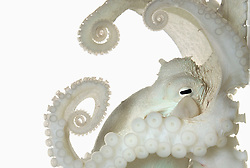 """Common Octopus, Scientific Name: Octopus vulgaris, Size: 3.5 inches mantle length, February 4, 2015, Big Pine Key, Florida. BIO: David Liittschwager is a freelance photographer who, after working with Richard Avedon in New York in the eighties, left advertising to focus on portraiture and natural history. Now a regular contributor to National Geographic Liittschwager has produced a number of books. Among his many honors is a World Press Photo Award in 2008 for his article """"Marine Microfauna"""" in National Geographic. <br /> <br /> WEBSITE: liittschwager.com INSTAGRAM: @davidliittschwager"""