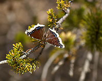 Springtime butterfly in Rocky Mountain National Park. Image taken with a Nikon D2xs camera and 17-55 mm f/2.8 lens (ISO 100, 55 mm, f/2.8, 1/2000 sec).