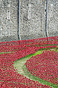 Blood Swept Lands and seas of red. Last minute preparations before the official opening tomorrow. Ceramic poppies form an artwork in the moat of the Tower Of London to mark the centenary of the first world war. 04 Aug 2014. .Guy Bell, 07771 786236, guy@gbphotos.com