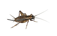 Wood Cricket - Nemobius sylvestris - female