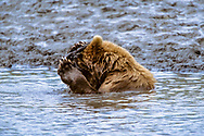 Alaskan brown bear holds a salmon it has just caught against its forehead, apparently to keep it from slipping out of its grip, Mikfik Creek, McNeil River State Game Sanctuary, Alaska, © David A. Ponton
