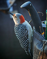 Red-bellied Woodpecker. Image taken with a Nikon D5 camera and 600 mm f/4 lens (ISO 1600, 600 mm, f/4, 1/400 sec).