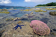 reef corals exposed at low tide, Lamen Island, Vanuatu, formerly known as New Hebrides, South Pacific