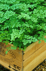 Chervil planted in old wooden wine box at Stonehouse. Anthriscus cerefolium