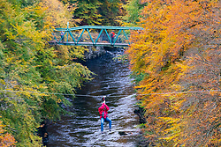 Pitlochry, Scotland, UK. 24th October 2021. A man on a zip-line crosses the River Garry near Killiecrankie surrounded by vibrant autumnal colours in the forest.   Iain Masterton/Alamy Live News.