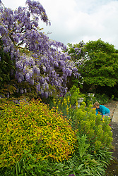 Thought to be the longest single vine in the UK, Wisteria blooms at Wickham Park Farm, Essex. No longer open to the public, the spectacular gardens are the work of dedicated gardener Judith Wilson, pictured, who has tended her wisteria and encouraged its growth for over thirty years.May 13 2018.