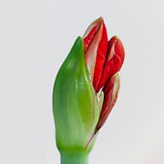 Cut out of a flowering red Hippeastrum flower. (Sometimes called incorrectly, amaryllis). emerging from the bud. Photographed in Israel in March