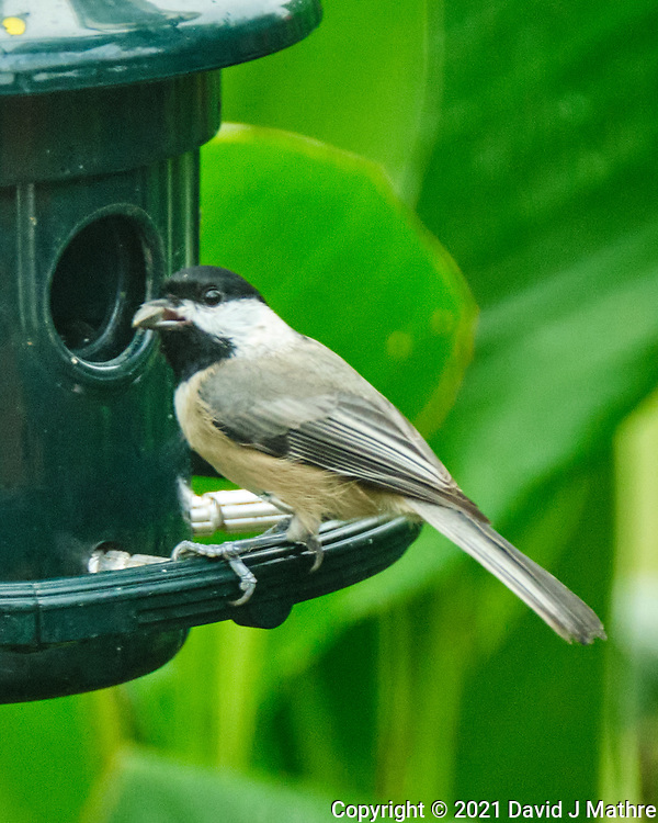 Black-capped Chickadee. Image taken with a Fuji X-T4 camera and 100-400 mm OIS<br />  lens.