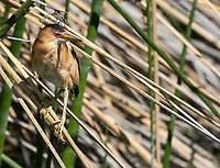 A male Least Bittern, Ixobrychus exilis, perches in reeds in the Riparian Preserve at Water Ranch, Gilbert, Arizona