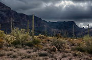 Back lit desert landscape with many species of cacti  in Organ Pipe Cactus National Monument, southern Arizona.