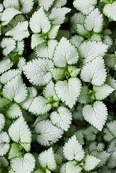 Lamium maculatum 'White Nancy'. Spotted deadnettle