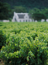 Grapes growing on vines in front of Dutch colonial house, Stellenbosch, South Africa. (Credit Image: © Axiom/ZUMApress.com)