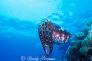 broadclub cuttlefish, Sepia latimanus, Agincourt Reef, Great Barrier Reef, Australia ( Western Pacific Ocean )