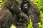 Rwanda, Volcanoes National Park (Parc National des Volcans) mountain gorilla (Gorilla beringei beringei) family with baby