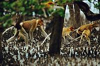 Proboscis monkeys (Nasalis larvatus) walking though mangrove roots.
