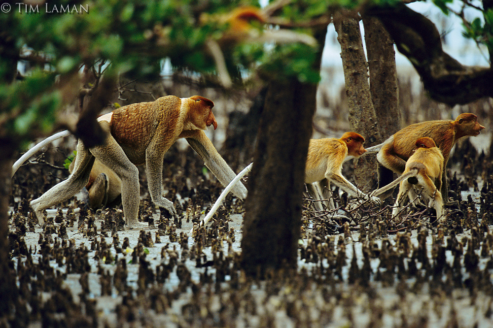 Proboscis monkeys (Nasalis larvatus) walking though mangrove roots.