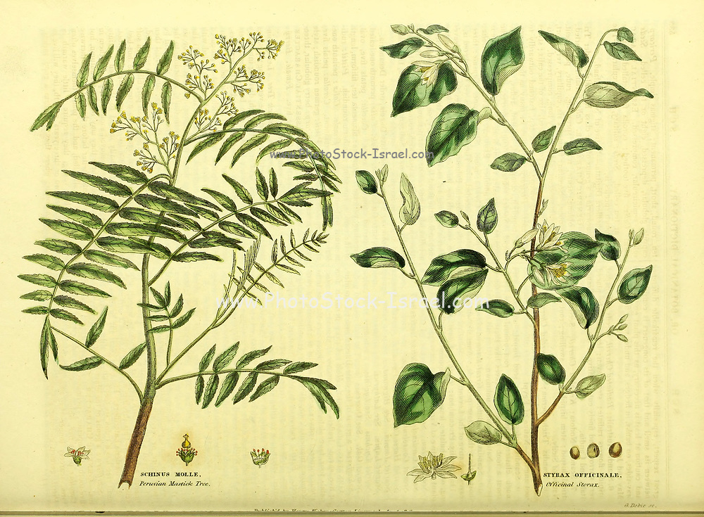 Schinus molle [Peruvian Mastick Tree] Styrax officinale [Officinal Storax] from Vol II of the book The universal herbal : or botanical, medical and agricultural dictionary : containing an account of all known plants in the world, arranged according to the Linnean system. Specifying the uses to which they are or may be applied By Thomas Green,  Published in 1816 by Nuttall, Fisher & Co. in Liverpool and Printed at the Caxton Press by H. Fisher