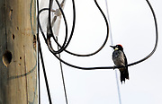 A male Acorn Woodpecker (Melanerpes formicivorus) perches on a cable outside a nesting hole excavated in a telegraph pole. Panajachel, Republic of Guatemala 03Mar14