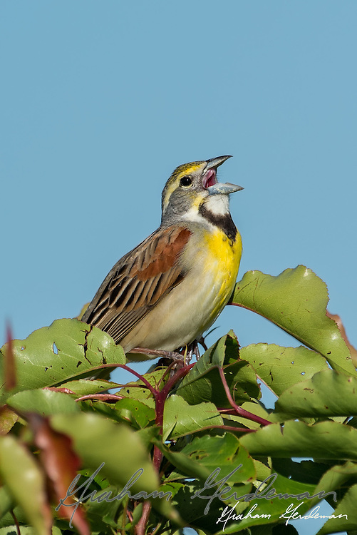 Dickcissel (Spiza americana) singing at Bell's Bend Park in Nashville, TN. An uncommon local breeder, the Dickcissel resembles a small Meadowlark.