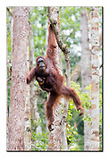 A female Borneo orangutan and her new born move elegantly among the trees of Tanjung Puting National Park, Kalimantan, Indonesia.  Nikon D850, 300mm, f4.5, EV+0.67, 1/500sec, ISO1400, Aperture priority