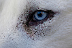 White huskies from Northwest Territories