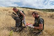 Staff of Amus Wildlife Recovery Center checking a poisoned black vulture, Sierra de Alconera, Extremadura, Spain.